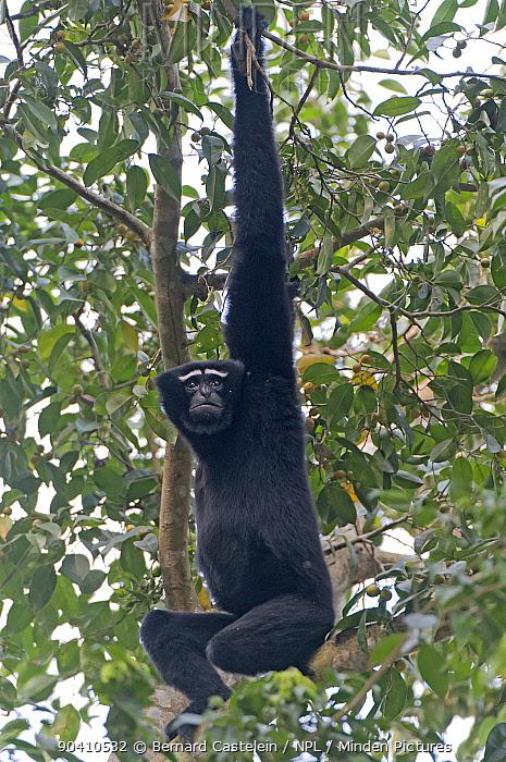 Hoolock gibbon (Hoolock hoolock) male hanging in tree, Assam, India  -  Bernard Castelein/ npl