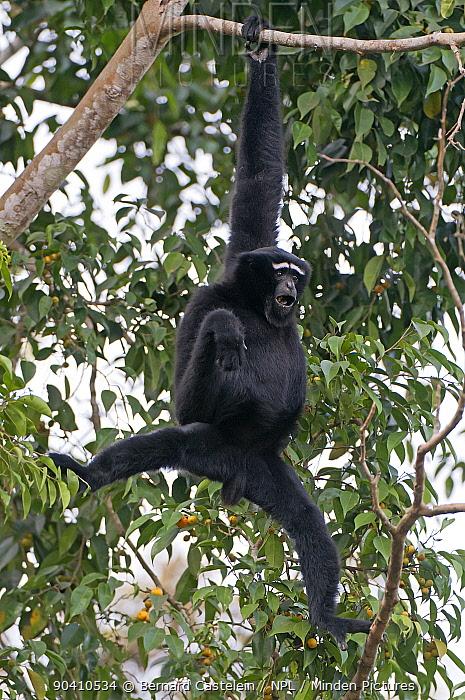 Hoolock gibbon (Hoolock hoolock) male, Assam, India  -  Bernard Castelein/ npl