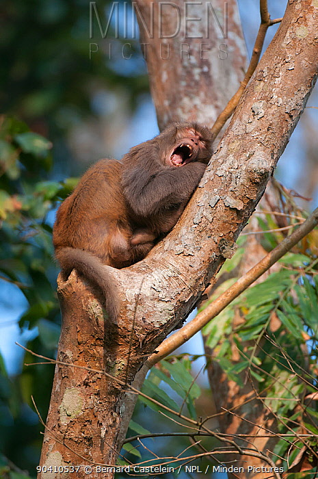 Rhesus macaque (Macaca mulatta) yawning in tree, Assam, India  -  Bernard Castelein/ npl