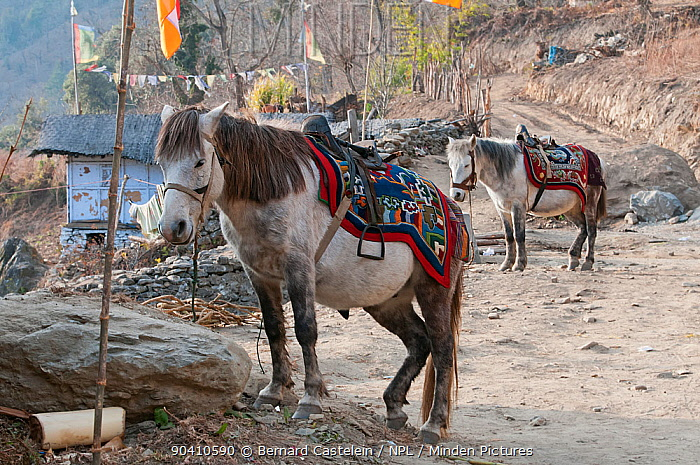 Domestic horses at a local Buddhist festival in the run up to the greater Torgya festival in Tawang, Namchu, Arunachal Pradesh, India January 2014  -  Bernard Castelein/ npl