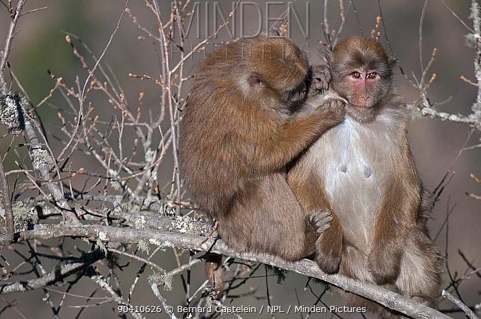Assamese macaques ( Macaca assamensis) grooming, Tawang, Arunachal Pradesh, India  -  Bernard Castelein/ npl