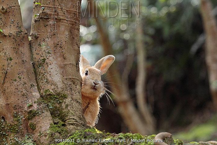 Feral domestic rabbit (Oryctolagus cuniculus) looking round tree trunk, Okunojima Island, also known as Rabbit Island, Hiroshima, Japan  -  Yukihiro Fukuda/ npl