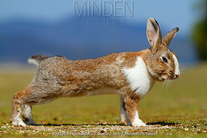 Feral domestic rabbit (Oryctolagus cuniculus) stretching, Okunojima Island, also known as Rabbit Island, Hiroshima, Japan  -  Yukihiro Fukuda/ npl