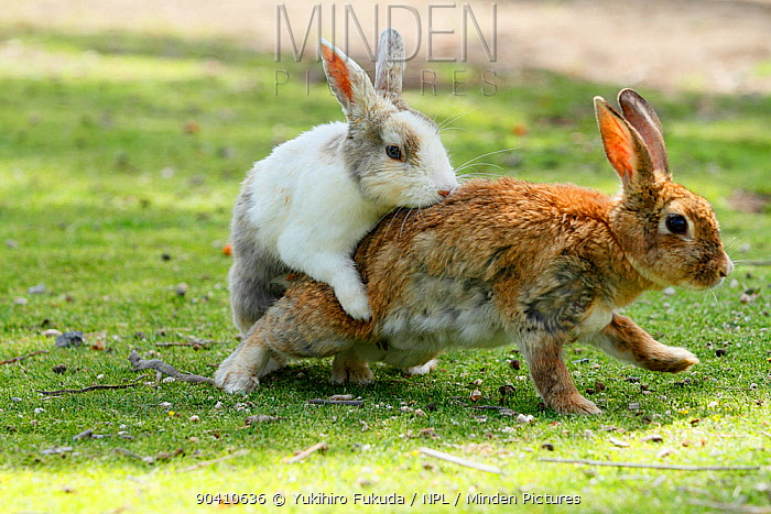 Feral domestic rabbit (Oryctolagus cuniculus) male attempting to mate with female, Okunojima Island, also known as Rabbit Island, Hiroshima, Japan  -  Yukihiro Fukuda/ npl