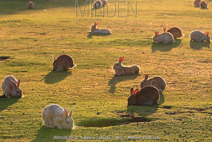 Feral domestic rabbit (Oryctolagus cuniculus) group at sunset Okunojima Island, also known as Rabbit Island, Hiroshima, Japan  -  Yukihiro Fukuda/ npl