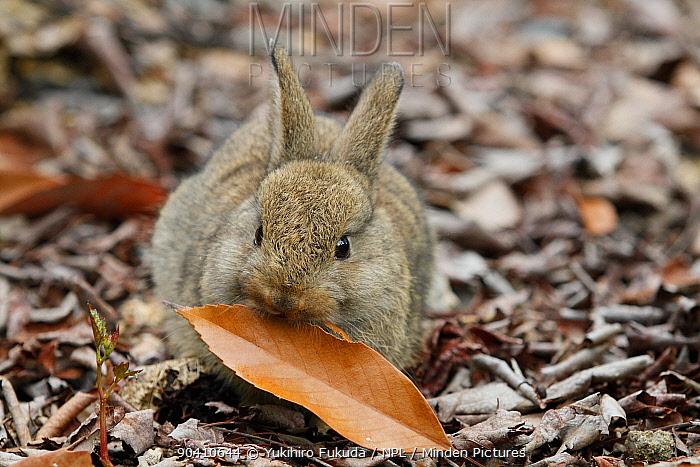 Feral domestic rabbit (Oryctolagus cuniculus) with leaf, Okunojima Island, also known as Rabbit Island, Hiroshima, Japan  -  Yukihiro Fukuda/ npl