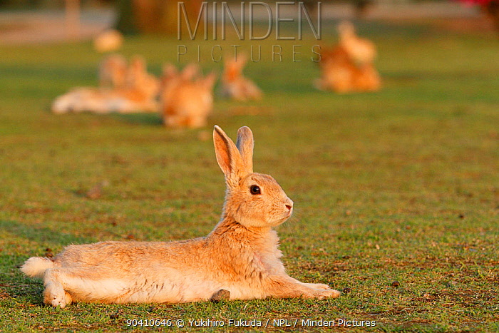 Feral domestic rabbit (Oryctolagus cuniculus) resting on ground, Okunojima Island, also known as Rabbit Island, Hiroshima, Japan  -  Yukihiro Fukuda/ npl
