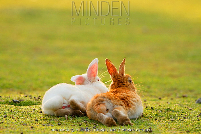 Feral domestic rabbit (Oryctolagus cuniculus) male and female resting together, Okunojima Island, also known as Rabbit Island, Hiroshima, Japan  -  Yukihiro Fukuda/ npl