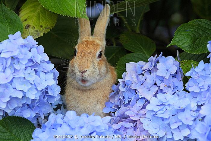 Feral domestic rabbit (Oryctolagus cuniculus) in hydrangea bush, Okunojima Island, also known as Rabbit Island, Hiroshima, Japan  -  Yukihiro Fukuda/ npl