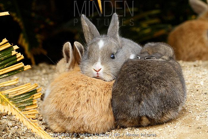 Feral domestic rabbit (Oryctolagus cuniculus) babies, Okunojima Island, also known as Rabbit Island, Hiroshima, Japan  -  Yukihiro Fukuda/ npl