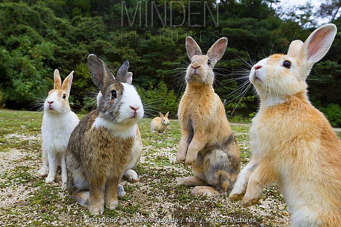 Feral domestic rabbits (Oryctolagus cuniculus) sitting up alert, Okunojima Island, also known as Rabbit Island, Hiroshima, Japan  -  Yukihiro Fukuda/ npl