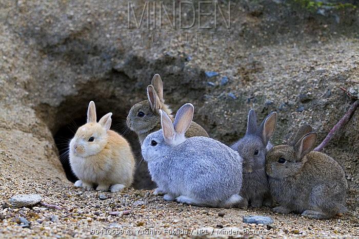 Feral domestic rabbit (Oryctolagus cuniculus) babies at burrrow, Okunojima Island, also known as Rabbit Island, Hiroshima, Japan  -  Yukihiro Fukuda/ npl