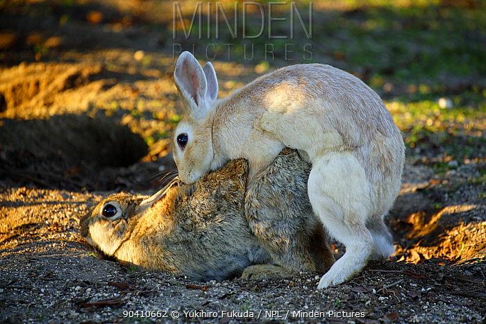 Feral domestic rabbit (Oryctolagus cuniculus) male mating with female, Okunojima Island, also known as Rabbit Island, Hiroshima, Japan  -  Yukihiro Fukuda/ npl