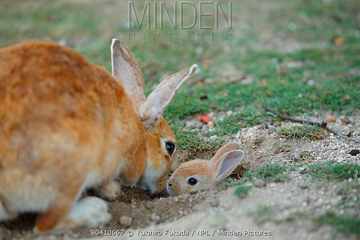Feral domestic rabbit (Oryctolagus cuniculus) mother greeting baby sticking head out of burrow, Okunojima Island, also known as Rabbit Island, Hiroshima, Japan  -  Yukihiro Fukuda/ npl