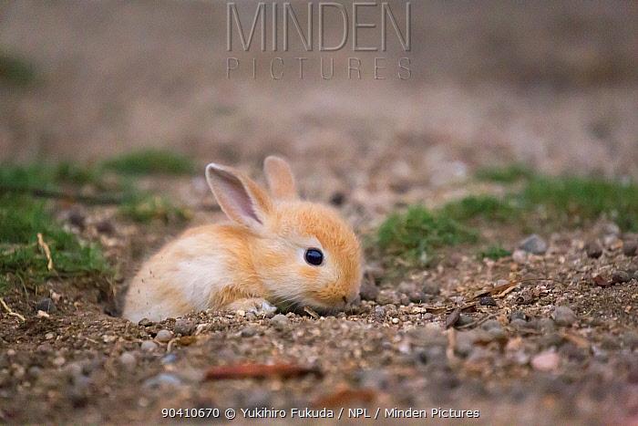 Feral domestic rabbit (Oryctolagus cuniculus) Okunojima Island, also known as Rabbit Island, Hiroshima, Japan  -  Yukihiro Fukuda/ npl