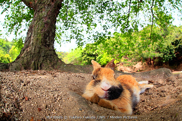 Feral domestic rabbit (Oryctolagus cuniculus) covered in dirt resting, Okunojima Island, also known as Rabbit Island, Hiroshima, Japan  -  Yukihiro Fukuda/ npl