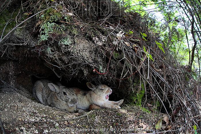 Feral domestic rabbit (Oryctolagus cuniculus) pair resting one yawning, Okunojima Island, also known as Rabbit Island, Hiroshima, Japan  -  Yukihiro Fukuda/ npl