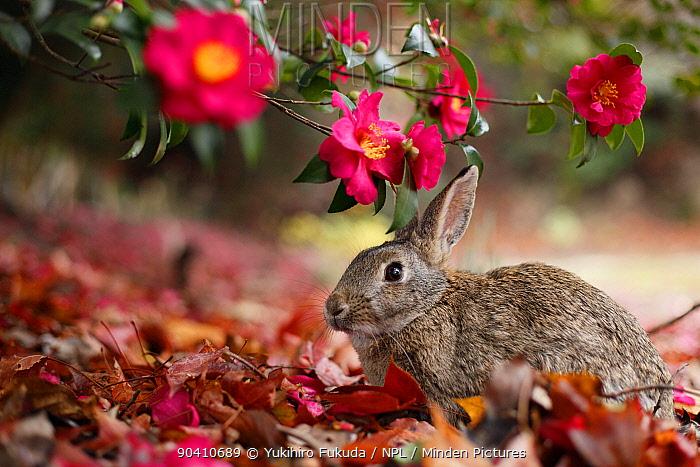 Feral domestic rabbit (Oryctolagus cuniculus) feeding on flowers, Okunojima Island, also known as Rabbit Island, Hiroshima, Japan  -  Yukihiro Fukuda/ npl