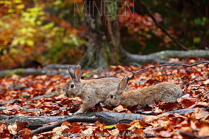 Feral domestic rabbits (Oryctolagus cuniculus) walking among fallen autumn leaves, Okunojima Island, also known as Rabbit Island, Hiroshima, Japan  -  Yukihiro Fukuda/ npl