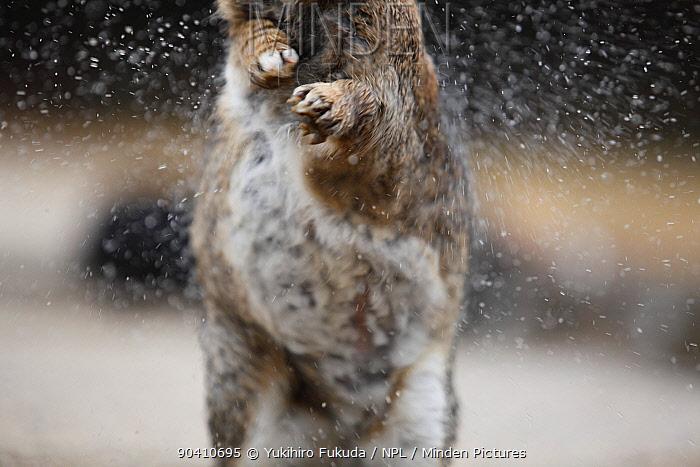 Feral domestic rabbit (Oryctolagus cuniculus) shaking off wet fur, Okunojima Island, also known as Rabbit Island, Hiroshima, Japan  -  Yukihiro Fukuda/ npl