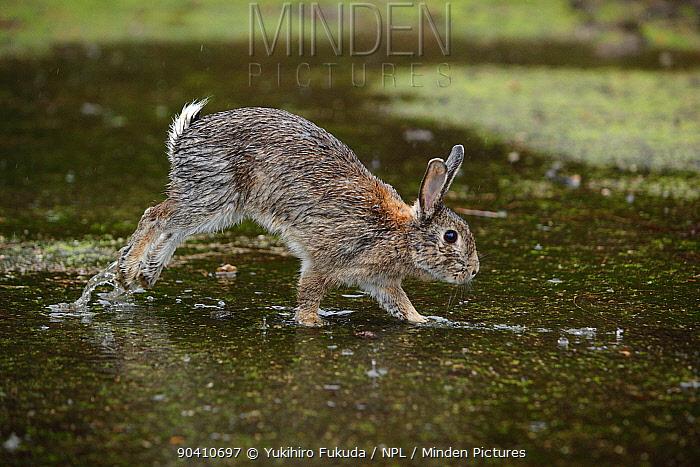 Feral domestic rabbit (Oryctolagus cuniculus) with wet fur running through puddle, Okunojima Island, also known as Rabbit Island, Hiroshima, Japan  -  Yukihiro Fukuda/ npl