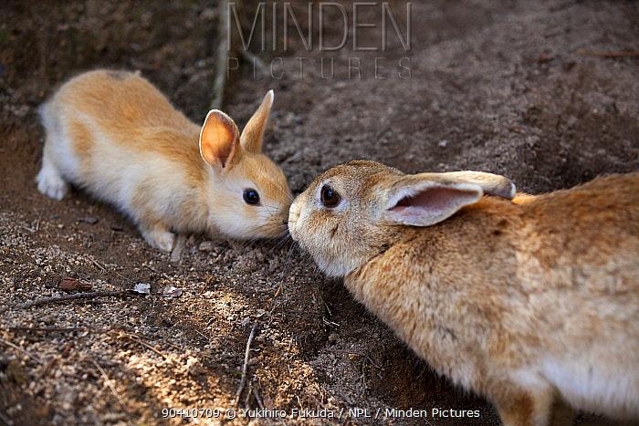 Feral domestic rabbit (Oryctolagus cuniculus) mother and baby nose to nose, Okunojima Island, also known as Rabbit Island, Hiroshima, Japan  -  Yukihiro Fukuda/ npl