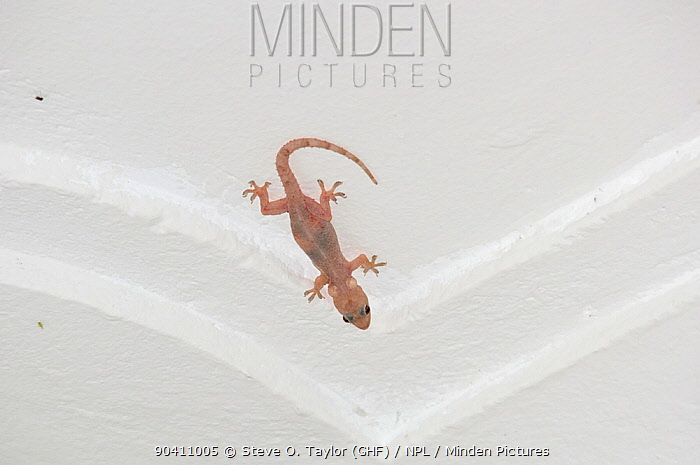 Tropical house gecko (Hemidactylus mabouia) with cysts of stored calcium in guest house, Ituri Rainforest, Democratic Republic of Africa  -  Steve O. Taylor/ npl