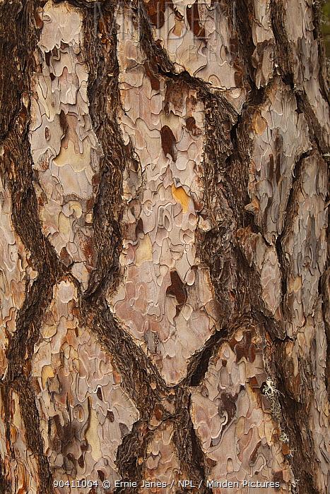Ancient black pine (Pinus nigra) trunk, Troodhos National Park, Cyprus, May  -  Ernie Janes/ npl