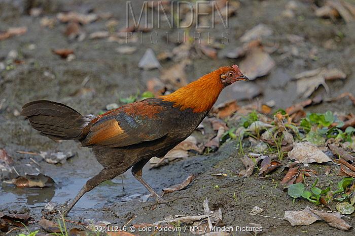 Red junglefowl (Gallus gallus) male walking Kaziranga National Park, Assam, India  -  Loic Poidevin/ NPL