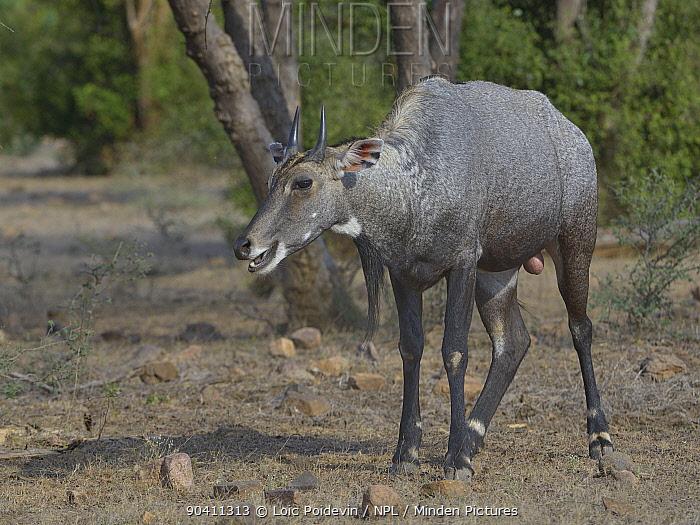 Nilgai (Boselaphus tragocamelus) male Bandhavgarh National Park, India  -  Loic Poidevin/ NPL