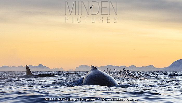 Humpback whales (Megaptera novaeangliae) and killer whales, orcas (Orcinus orca) feeding on herring (Clupea harengus) Andfjorden, close to Andoya, Nordland, Northern Norway January  -  Espen Bergersen/ npl