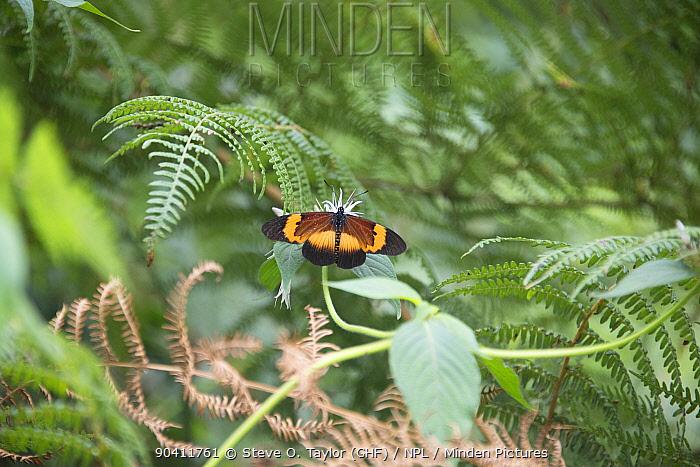 Butterfly (Lepidoptera sp) Ruwenzoris Mountain Range, Democratic Republic of the Congo  -  Steve O. Taylor/ npl