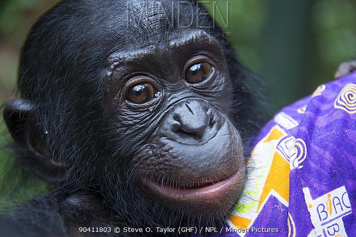 Bonobo (Pan paniscus) baby with keeper, captive at Lola Ya Bonobo Sanctuary, near Kinshasa, Democratic Republic of the Congo  -  Steve O. Taylor/ npl
