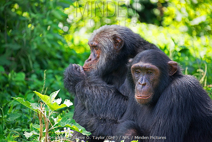 Chimpanzee (Pan troglodytes) two adults sitting side by side, Ngamba Island Chimpanzee Sanctuary, Lake Victoria, Uganda  -  Steve O. Taylor/ npl