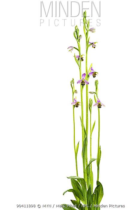 Bee orchid (Ophrys apifera) in flower, Maine-et-Loire, France, June meetyourneighboursnet project  -  MYN/ Marc Pihet/ npl
