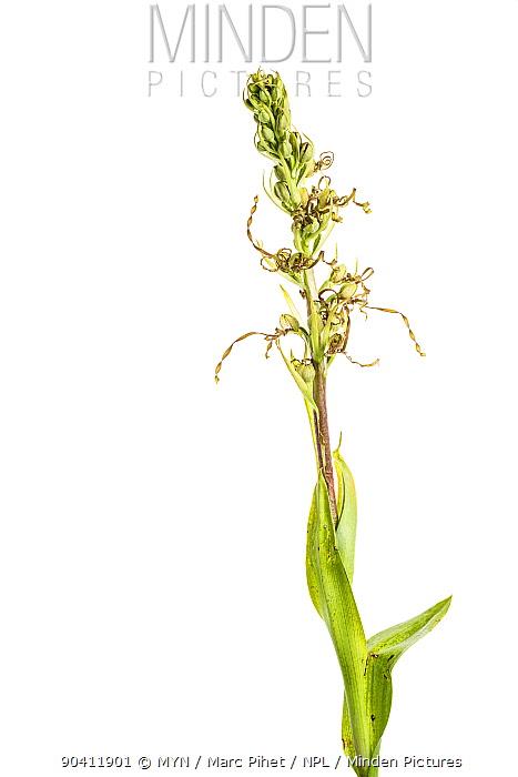 Lizard orchid (Himantoglossum hircinum) in flower, Maine-et-Loire, France, June meetyourneighboursnet project  -  MYN/ Marc Pihet/ npl