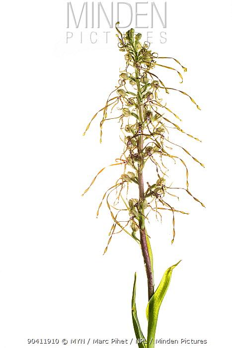 Lizard orchid (Himantoglossum hircinum), Maine-et-Loire, France, June meetyourneighboursnet project  -  MYN/ Marc Pihet/ npl