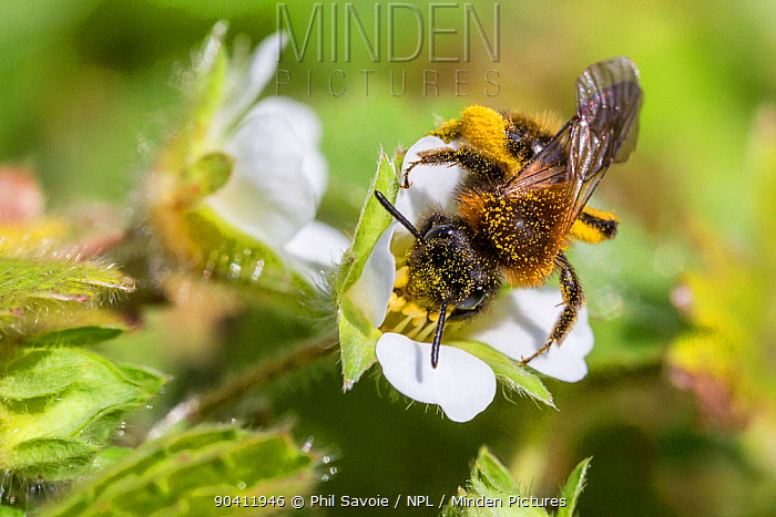 Mining bee (Andrena sp) covered in pollen, feeding on Wild strawberry (Fragaria vesca) Monmouthshire, Wales, UK, March  -  Phil Savoie/ npl