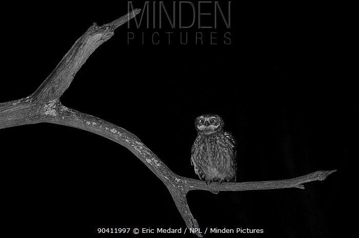 Little owl (Athene noctua) perched on branch Taken at night with infra-red remote camera trap, Mayenne, France, March  -  Eric Medard/ npl