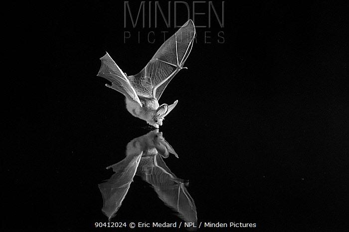 Grey long-eared bat (Plecotus austriacus) drinking in flight, taken at night with infra-red remote camera trap Mayenne, France, July  -  Eric Medard/ npl