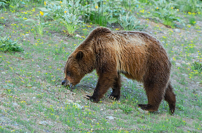 Grizzly bear (Ursus arctos horribilis) foraging, Yellowstone National Park, Wyoming, USA, June  -  George Sanker/ npl