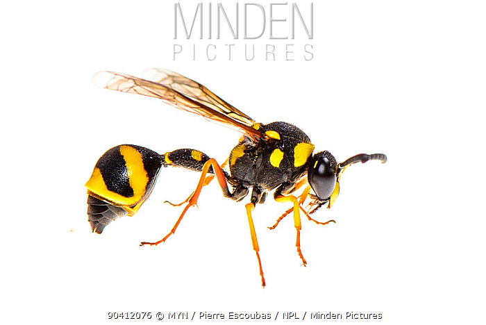 Potter, mason wasp (Eumenes sp) Corsica, June Meetyourneighboursnet project  -  MYN/ Pierre Esccoubas/ npl