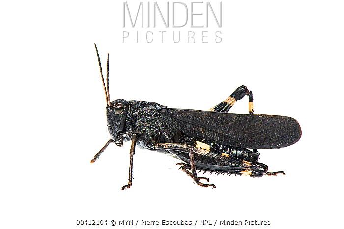Rattle grasshopper (Psophus stridulus) Greolieres, France, August Meetyourneighboursnet project  -  MYN/ Pierre Esccoubas/ npl