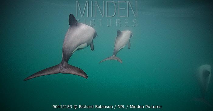 Hector's dolphins (Cephalorhynchus hectori) Akaroa Harbour, South Island, New Zealand, November  -  Richard Robinson/ npl