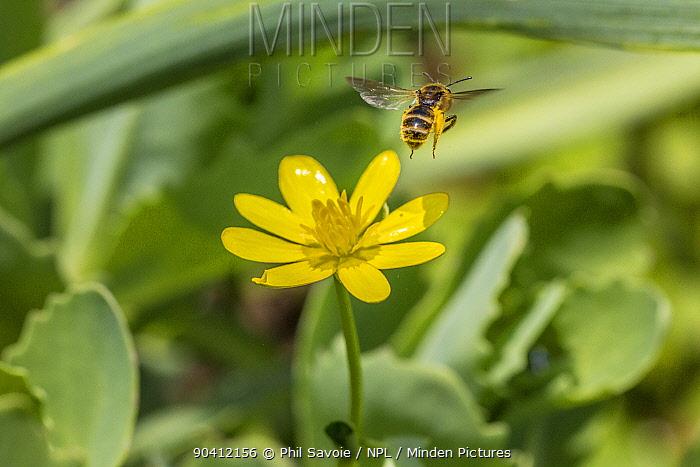 Mining bee (Andrena sp) in flight, feeding on Lesser celandine (Ranunculus ficaria) Monmouthshire, Wales, UK, April  -  Phil Savoie/ npl
