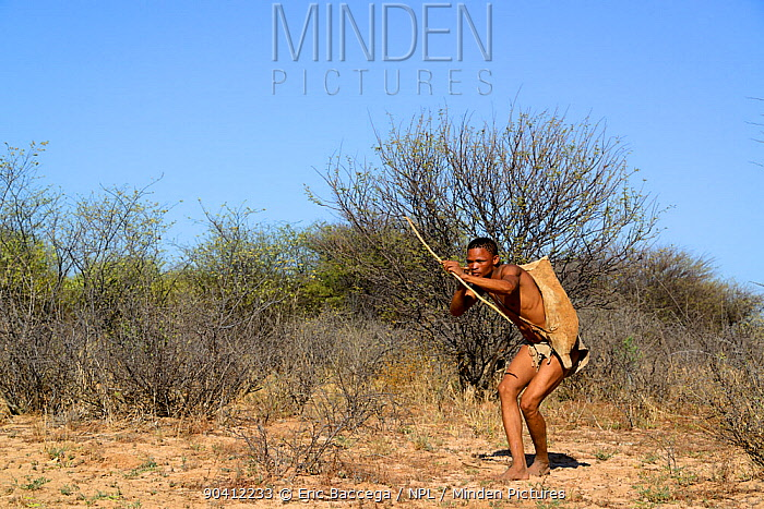 Naro San Bushman hunting in the bush with traditional bow and arrow, Kalahari, Ghanzi region, Botswana, Africa Dry season, October 2014  -  Eric Baccega/ npl