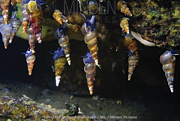 Snails (Baicalia turriformis) Lake Baikal, Russia, August  -  Olga Kamenskaya/ npl