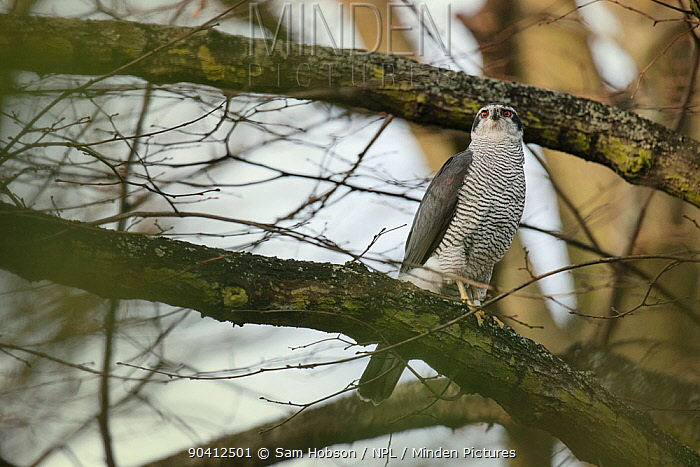 Northern goshawk (Accipiter gentilis), adult male perched in tree Berlin, Germany March  -  Sam Hobson/ npl