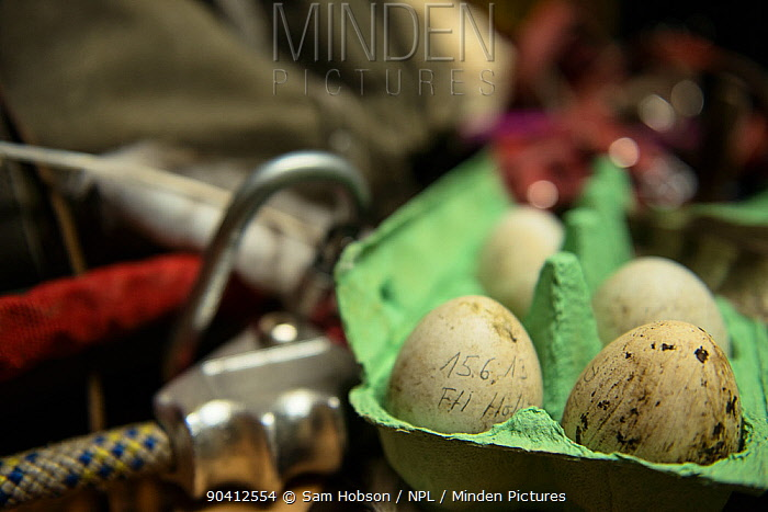 Addled northern goshawk (Accipiter gentilis) eggs, removed during ringing for scientific testing Berlin, Germany, March 2014  -  Sam Hobson/ npl