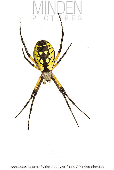 Black-and-yellow argiope (Argiope aurantia), Anacostia watershed, Washington DC metro region, USA, September Meetyourneighboursnet project  -  MYN/ Krista Schlyer/ npl